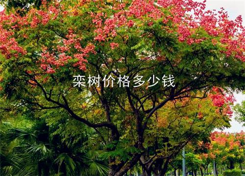 """""""黄金树""""栾树最新价格在多少钱一棵?详解种植方法!"""